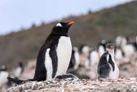 Gentoo Penguin (Pygoscelis papua) at nest with chicks,Sout