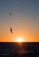 Black-browed Albatross (Thalassarche melanophris) pair fly