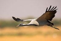 Demoiselle Crane (Anthropoides virgo) flying,Thar Desert,R