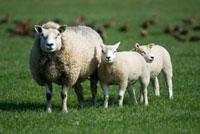 Domestic Sheep (Ovis aries) ewe with two lambs,Texel,Nethe