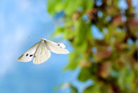 Cabbage White (Pieris rapae) butterfly flying,Milsbeek,Lim