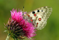 Mountain Apollo (Parnassius apollo) butterfly on thistle,H