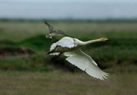 Whooper Swan (Cygnus cygnus) chased by Whimbrel (Numenius