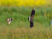 Black-tailed Godwit (Limosa limosa) chasing Lapwing (Vanel