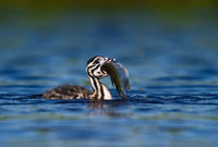 Great Crested Grebe (Podiceps cristatus) chick with a fish