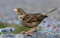 House Sparrow (Passer domesticus) drinking,Abisko,Sweden