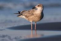Herring Gull (Larus argentatus) juvenile on the beach,Sout