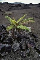 Ama'u Fern (Sadleria sp) in lava field, Hawaii Volcanoes Nat
