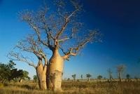 Australian Baobab (Adansonia gregorii) trees, western Austra