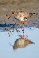Common Redshank (Tringa totanus) foraging in shallow water,