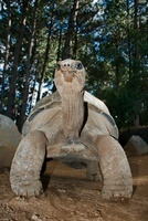 Ploughshare Tortoise (Geochelone yniphora) male, Antananariv 01543034768| 写真素材・ストックフォト・画像・イラスト素材|アマナイメージズ