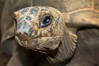 Ploughshare Tortoise (Geochelone yniphora) male, Antananariv