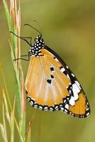 Plain Tiger (Anosia chrysippus) butterfly, Bekopaka, western