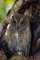 Malagasy Scops-Owl (Otus rutilus) sitting in tree hollow, Ki