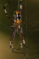 Banana Spider (Nephila clavipes) in web, Kirindy Forest, Mad