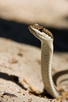 Malagasy Striped Snake (Dromicodryas bernieri) on the beach,