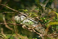 Spiny Chameleon (Chamaeleo verrucosus) climbing in branches,