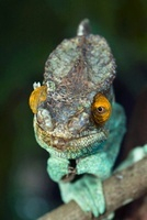 Parson's Chameleon (Chamaeleo parsonii) male, Marozevo