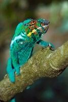 Panther Chameleon (Chamaeleo pardalis) male climbing, Maroze
