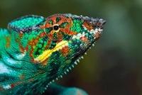 Panther Chameleon (Chamaeleo pardalis) male, Marozevo, Madag