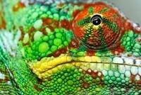 Panther Chameleon (Chamaeleo pardalis) eye of a male, Maroze