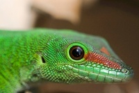 Madagascar Day Gecko (Phelsuma madagascariensis), Marozevo,  01543034817| 写真素材・ストックフォト・画像・イラスト素材|アマナイメージズ