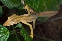 Lined Flat-tail Gecko (Uroplatus lineatus), Marozevo, Madaga 01543034818| 写真素材・ストックフォト・画像・イラスト素材|アマナイメージズ