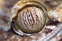 Common Flat-tail Gecko (Uroplatus fimbriatus) eye showing ve