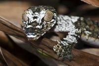 Common Flat-tail Gecko (Uroplatus fimbriatus), Marozevo, Mad 01543034822| 写真素材・ストックフォト・画像・イラスト素材|アマナイメージズ