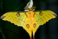 Madagascar Moon Moth (Argema mittrei) male feshly emerged an