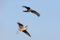 Northern Harrier (Circus cyaneus) being chased by Great Bitt