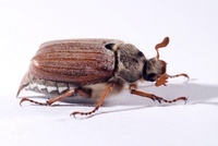 Common Cockchafer (Melolontha melolontha) beetle, Netherland