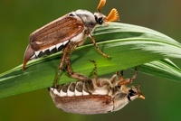Common Cockchafer (Melolontha melolontha) beetle pair, Nethe
