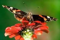 Red Admiral (Vanessa atalanta) butterfly on a red flower, Ne 01543034922| 写真素材・ストックフォト・画像・イラスト素材|アマナイメージズ