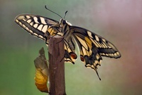 Oldworld Swallowtail (Papilio machaon) butterfly and cocoon