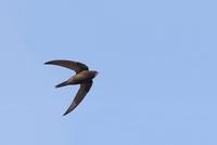 Common Swift (Apus apus) flying, Flevoland, Netherlands