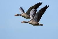 Greylag Goose (Anser anser) pair flying, Netherlands