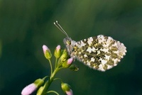 Orange Tip (Anthocharis cardamines) female covered with dewd