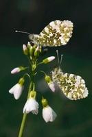 Orange Tip (Anthocharis cardamines) males on Cuckoo Flower (