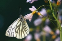 Green-veined White (Pieris napi) butterfly on Cuckoo Flower