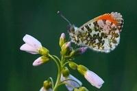 Orange Tip (Anthocharis cardamines) male on Cuckoo Flower (C