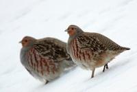 European Partridge (Perdix perdix) pair in snow, Roztocze, P