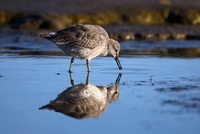 Red Knot (Calidris canutus) foraging in water, Holwerd, Frie