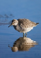 Red Knot (Calidris canutus) wading through water, Holwerd, F