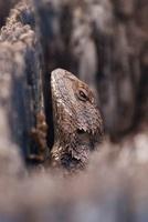 Texas Spiny Lizard (Sceloporus olivaceus) hiding in wooden p