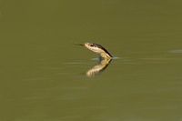 Common Garter Snake (Thamnophis sirtalis) swimming, Texas