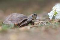 Texas Tortoise (Gopherus berlandieri), Texas