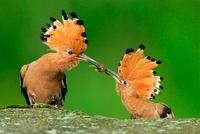 Eurasian Hoopoe (Upupa epops) pair in courtship, male passin