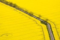 Oil Seed Rape (Brassica napus) fields, Bad Doberan, Germany