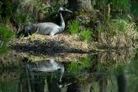 Common Crane (Grus grus) incubating, Germany